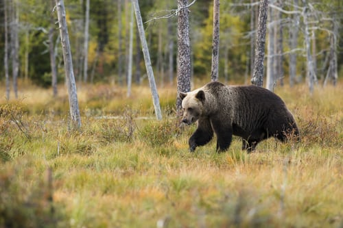 What Is the Best Gun for Defense Against Bears?